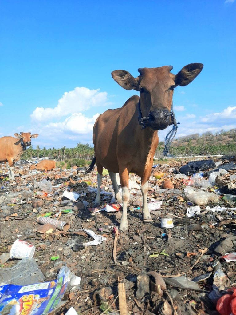 Cow in the dump eating plastic bags
